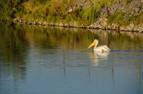 White American Pelican, Bear River Migratory Bird Refuge
