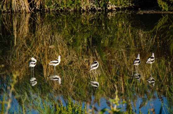 American Avocets at Bear River Migratory Bird Refuge