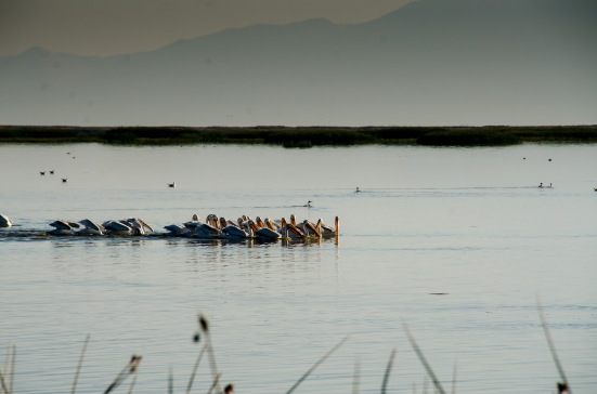 Pelicans at Bear River Migratory Bird Refuge