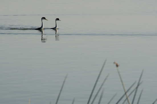Western grebes at the Bear River Migratory Bird Refuge