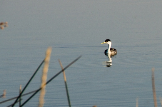 Western grebe at the Bear River Migratory Bird Refuge
