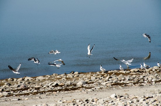 Seagulls over the Antelope Island causeway