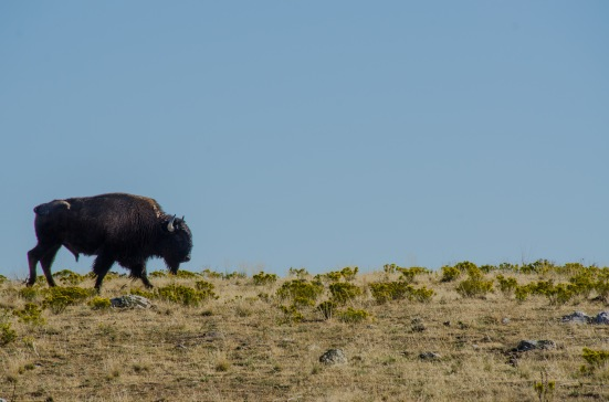 Bison at the Antelope Island