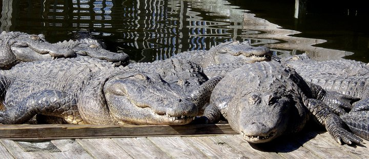 Alligator smiles at Gatorland in Orlando, FL