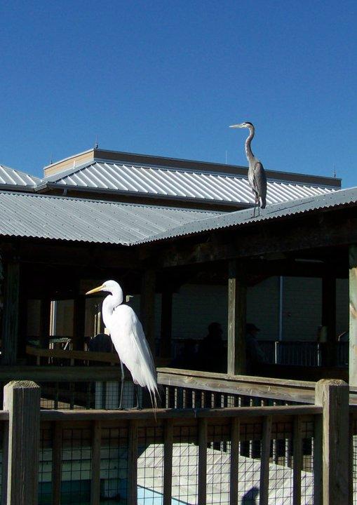 An egret and a blue heron - these wild birds just pass through Gatorland year-around