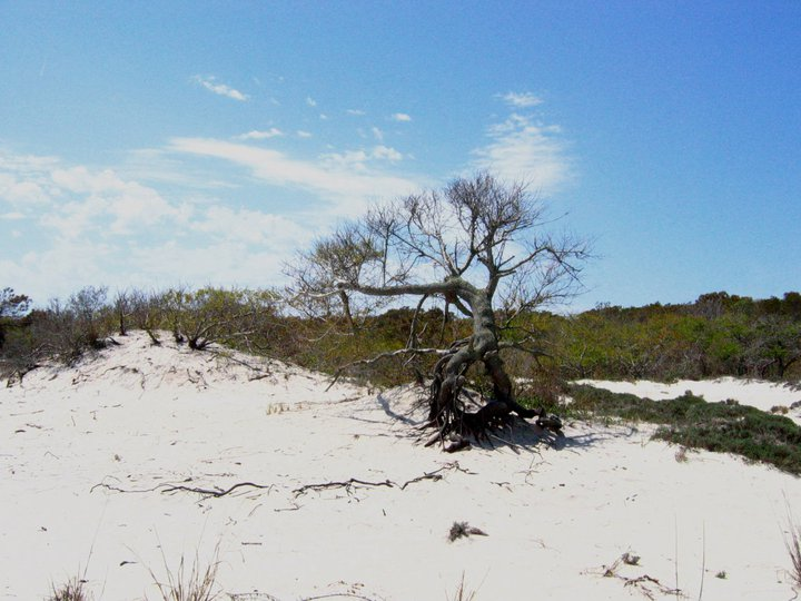 Assateague Island dune tree