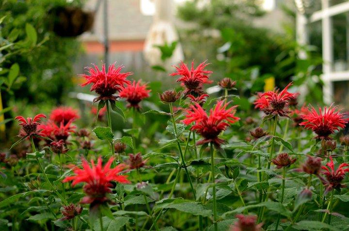 bee balms (monarda dydima) in bloom