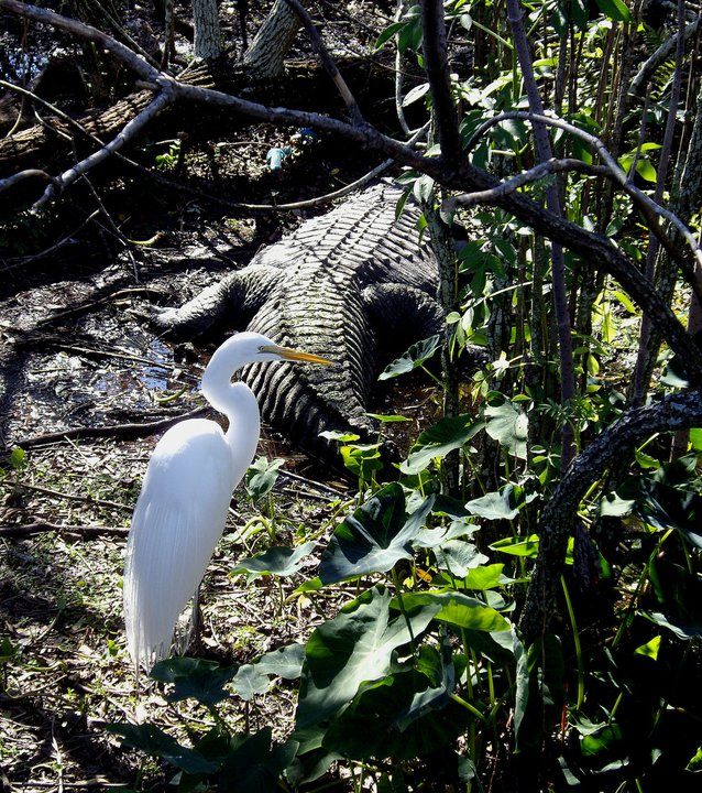 Bird and alligator, Gatorland