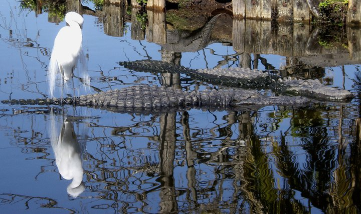 Bird and alligator naps at Gatorland, FL