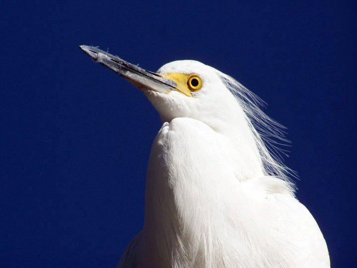 Egret, Gatorland
