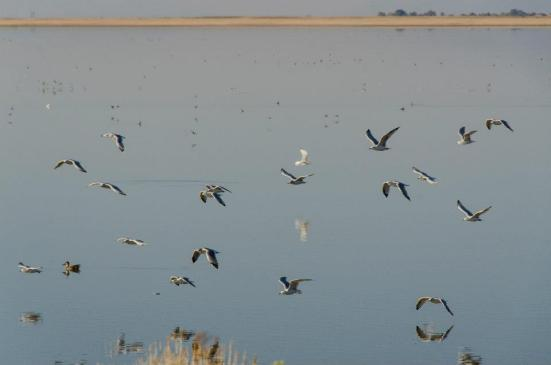 Birds of the Antelope Island causeway