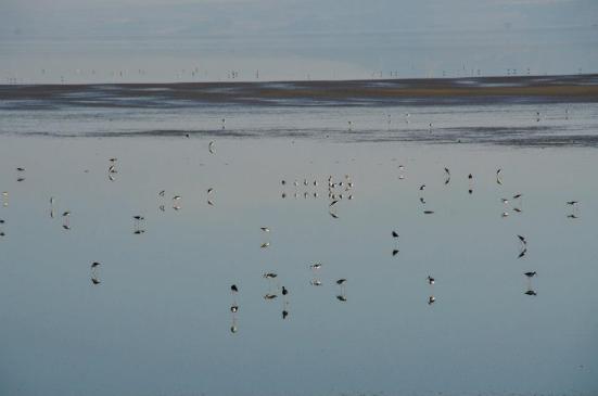 Birds of the Antelope Island causeway