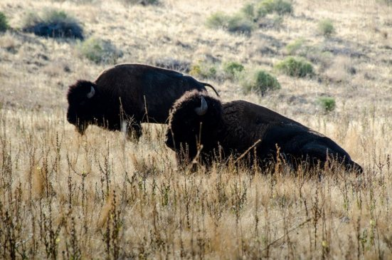 Bison at rest, Antelope Island State Park