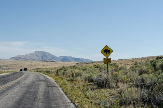 Buffalo crossing at Antelope Island