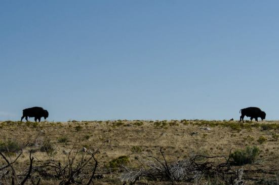 Bison at the Antelope Island State Park