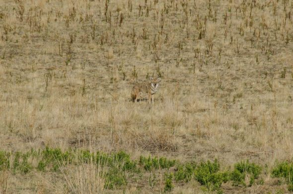 Coyote at Antelope Island