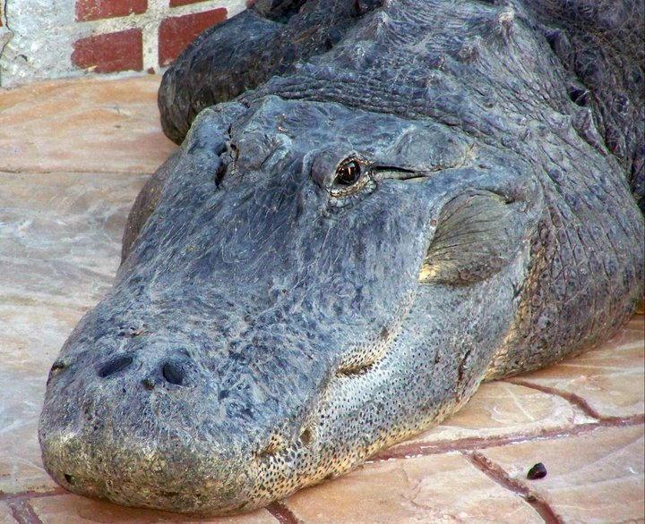 Crocodile, Gatorland