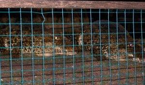 Cuban crocodiles, scary at Gatorland, FL