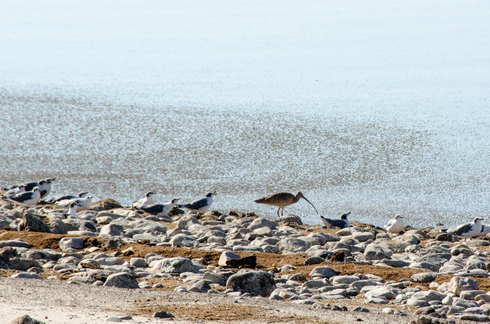 Long-billed curlew, feeding on brine flies (Antelope Island causeway)