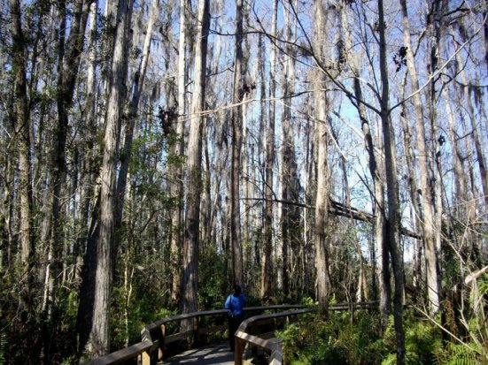 Cypress swamp walk, Gatorland