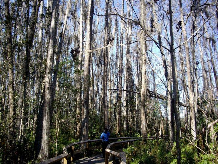 Cypress swamp walk, Gatorland