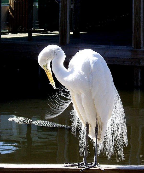 Egret at Gatorland