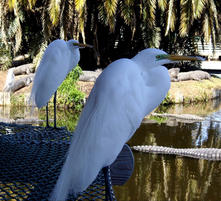 Egrets at Gatorland, FL
