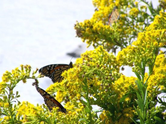 Goldenrods and methuselah monarchs on Assateague Island