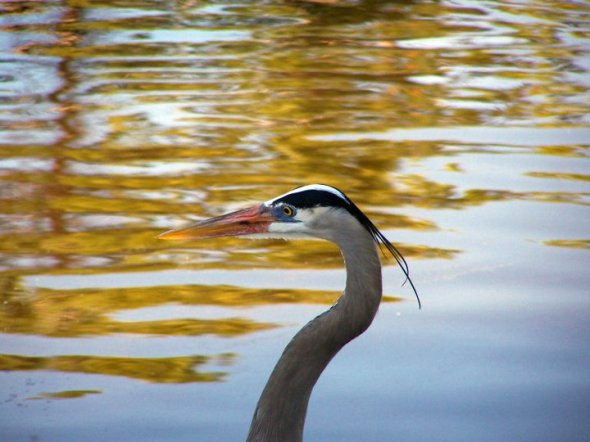 Great blue heron at Gatorland, FL