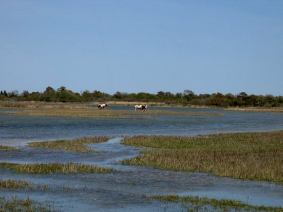 Assateague Island horses - marsh