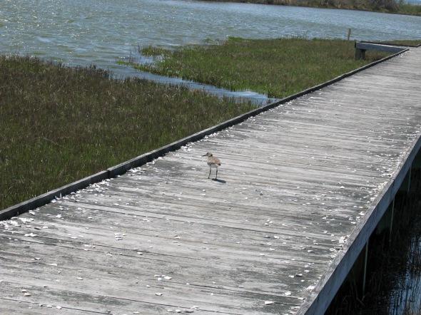 Assateague Island's birds - sandpiper