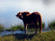 Assateague wild horse