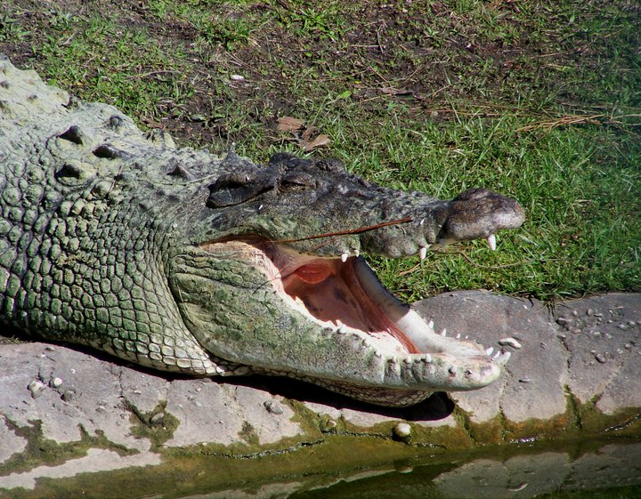 Crocodile, regulating body temperature, Gatorland