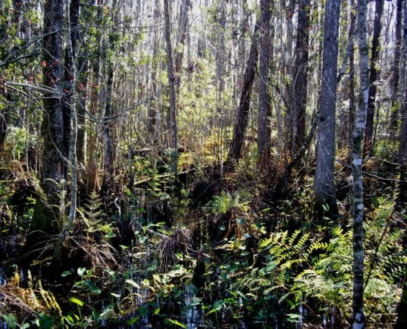 Cypress swamp walk, Gatorland: this is what central Florida looked like before its wetlands were drained for development