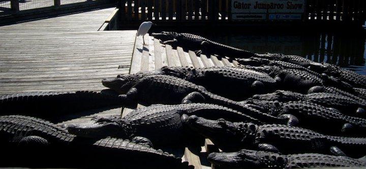 Birds and alligators at Gatorland, Orlando