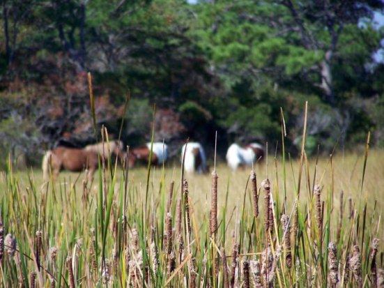 Assateague Island's wild horses