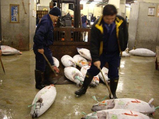 Tsukiji Fish Market Tuna Auction, Tokyo