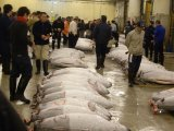A Morning in Tokyo: the Tuna Auction at the Tsukiji Market