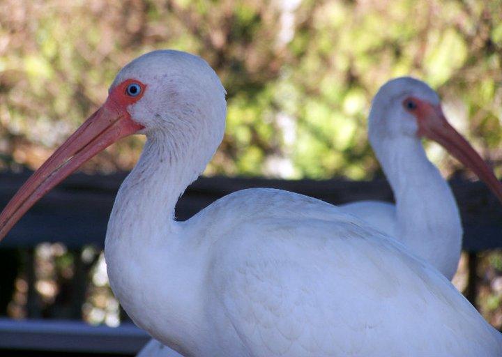 White ibises in Gatorland, Florida