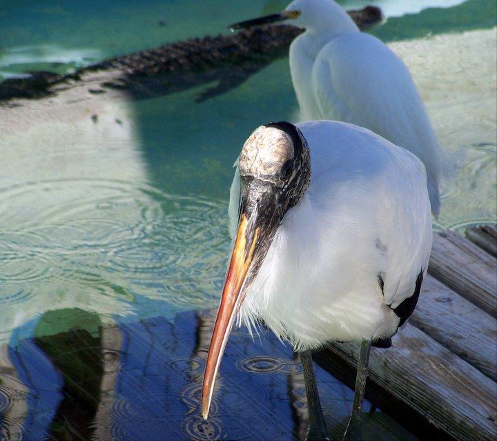 Wood stork, Gatorland, Orlando