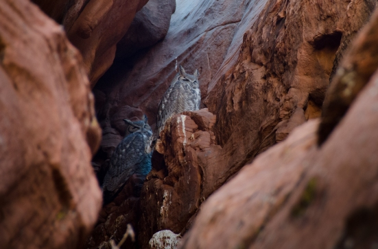 Owls of the Owl Canyon, Navajo Reservation near Page, Arizona