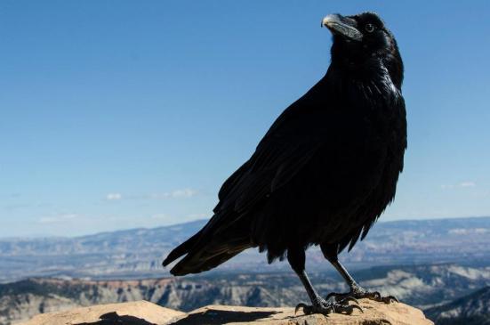 Bryce canyon ravens