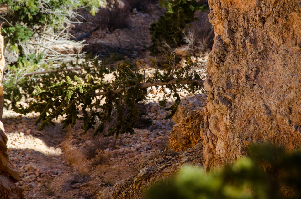 Bryce Canyon - life at all costs, a sideways tree