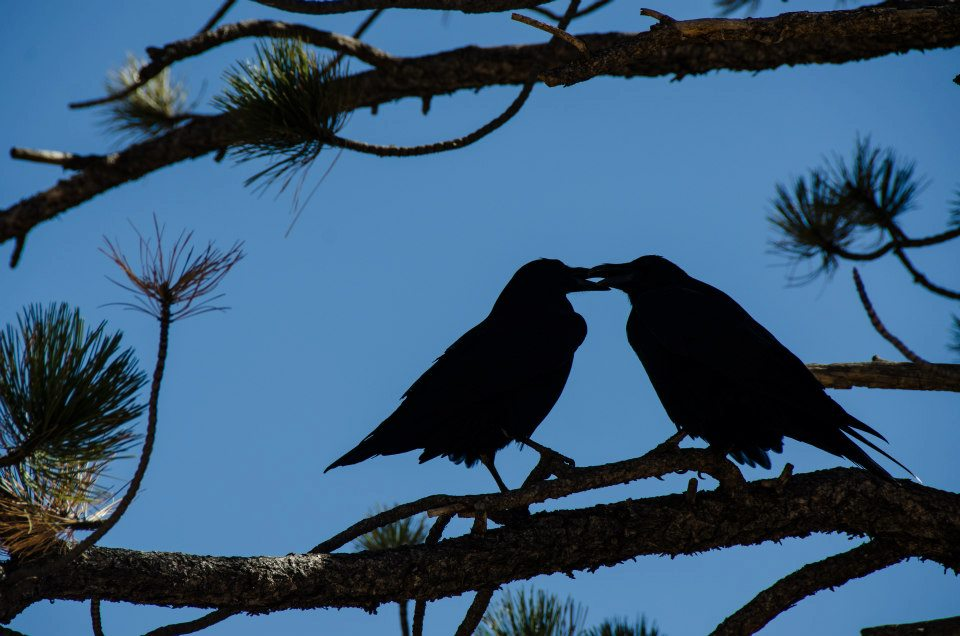 raven couple at bryce canyon national park