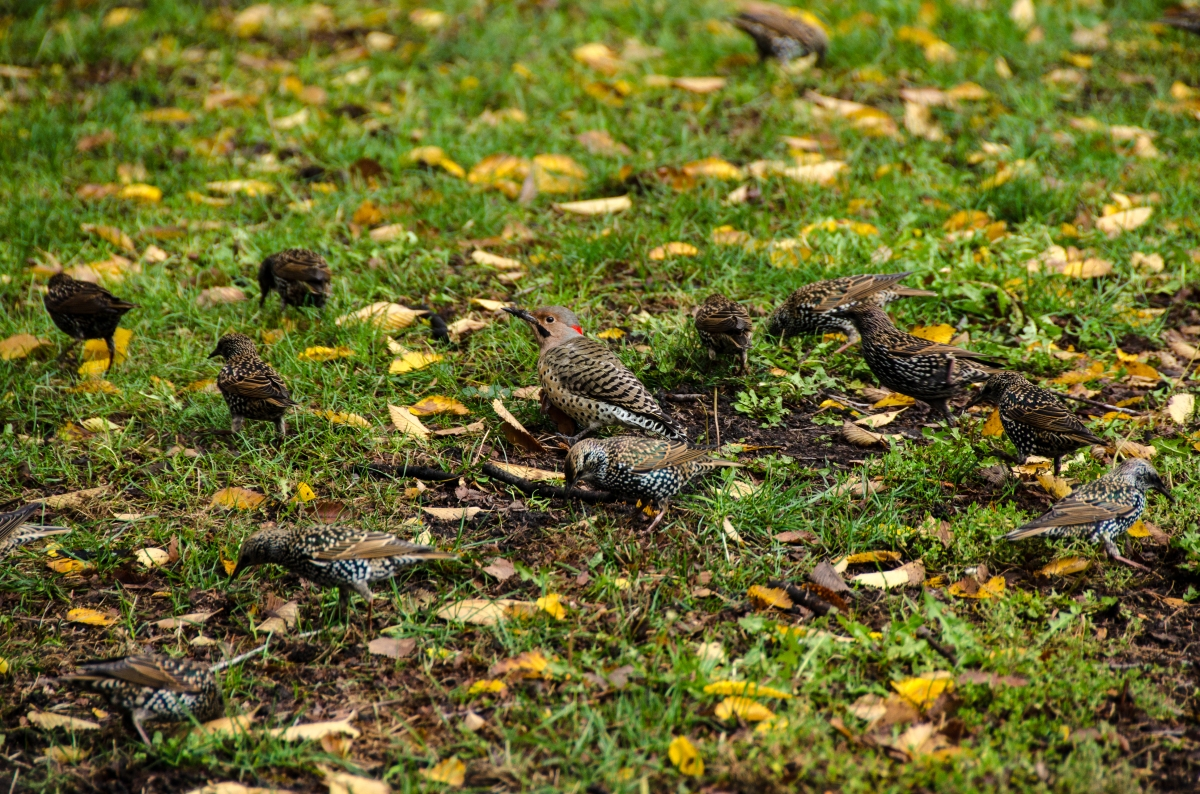 A northern flicker among starlings, Grant Park, Chicago