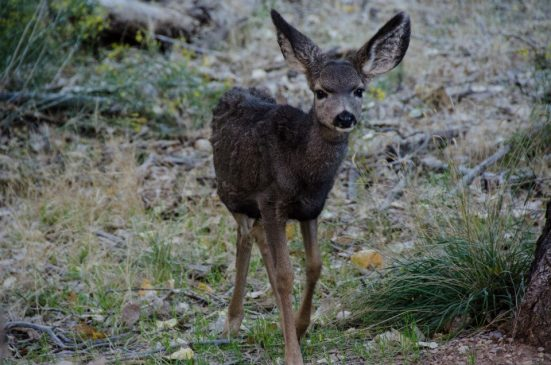 Bambi at Zion National Park