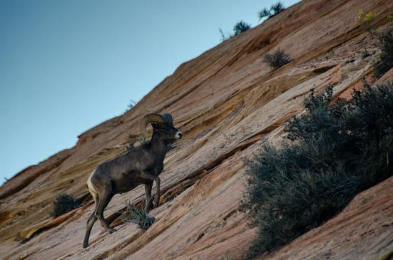 Bighorn sheep near Zion National Park
