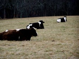 Cows relaxing at Poplar Spring Animal Sanctuary