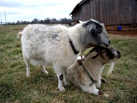Goats snuggling at Poplar Spring Animal Sanctuary