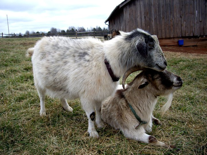 Goats snuggling at Poplar Spring Animal Sanctuary